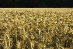 Cornfield 4/5 Background 1/5