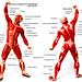 La salud de los músculos