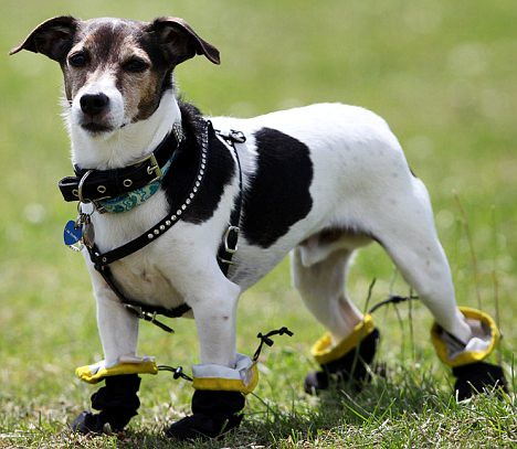 These boots are made for walkies Jaxs the terrier allergic to grass tries out his new shoes  2