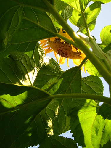 Looking Up at Sunflower by Danalynn C