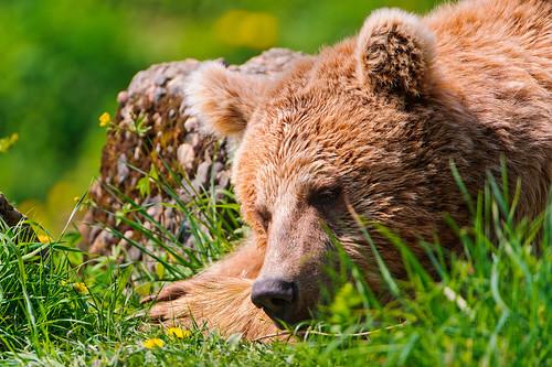 フリー写真素材, 動物, 哺乳類, 熊・クマ, 寝顔・寝ている,