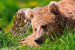 [フリー画像] 動物, 哺乳類, 熊・クマ, 寝顔・寝ている, 201107051100