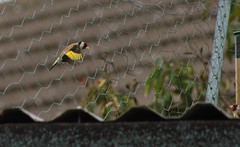 Goldfinch Arrives For Lunch (aaron_eos_photography) Tags: summer tree nature birds garden inflight pigeon dove goldfinch sunday july bluesky wingspan overhead doves collareddove gardenwildlife wingspread nygerseed birdwildlife