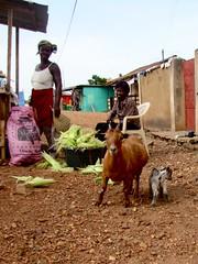 Goats & corn husks (buttontree) Tags: kid corn goat ghana husk
