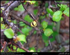 Abyssinian Myrrh, Commiphora habessinica, Opened Fruit in Anzout, Agdorout, Shahab Asaib, Rakhyout, Dhofar (Shanfari.net) Tags: plants plant nature lumix flora raw natural panasonic yemen arabian abyssinian oman fz zufar murr rw2 salalah myrrh sultanate dhofar  synonym khareef  burseraceae commiphora    dufar       abyssinica  dhufar governorate dofar fz38 commiphoraabyssinica fz35 dmcfz35  habessinica commiphorahabessinica balsamodendrum habessinicum balsamodendrumhabessinicum
