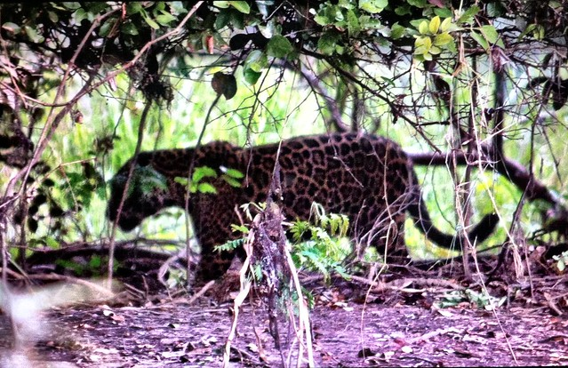 Another close jaguar - just enough time to snatch a photo before it disappeared.