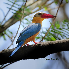 Stork-billed Kingfisher (somchai@2008) Tags: storkbilledkingfisher pelargopsiscapensis halcyoncapensis