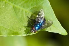 Varejeira (Edson Grandisoli. Natureza e mais...) Tags: parque cidade animal sãopaulo inseto pernas asa mosca varejeira artrópode olhocomposto regiãosudeste