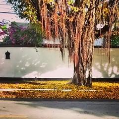 Outono em Recife (AnaElisa) Tags: street tree folhas yellow mobile square phone filter motorola squareformat celular rua recife leafs mayfair rvore outono app motog iphoneography instagram instagramapp uploaded:by=instagram anaelisalr