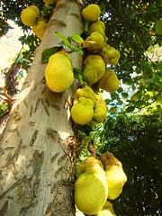 Jaqueira carregada (Jos Argemiro) Tags: frutas jackfruit jaca jaqueira  jaqueiracarregada frutaemrvore treeofjackfruit