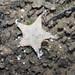 Galloping sea star (Stellaster equestris)
