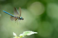 vol libre (bertholino fabrice) Tags: macro environnement calopteryx macrophotographie nikond600 photodenature bertholinofabrice sigma105macrooshsm insectedebretagne libelluleenpleinvol