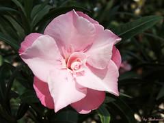 The perfect oleander (Shahrazad26) Tags: oleander nerium barcelona spanje spain spanien espagna espagne roze rose pink
