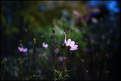 Cosmos In The Pink (Lens Bubbles) Tags: yashica j yashinon 45cm f28 rangefinder diy lens cosmos flower bokeh pink