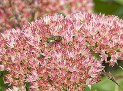 Fly on Sedum (mmorriso2002) Tags: sedum fly insect flyinginsect flowers