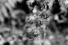 Burrs (Jade Chanoquaway) Tags: nikon nikkor d5500 fall autumn september ontario canada blackandwhite black white grey gray grayscale greyscale bw contrast light shadow monochrome shadows outdoor outside outdoors nature forest foliage plant plants sun sunlight sunshine texture weed burrs