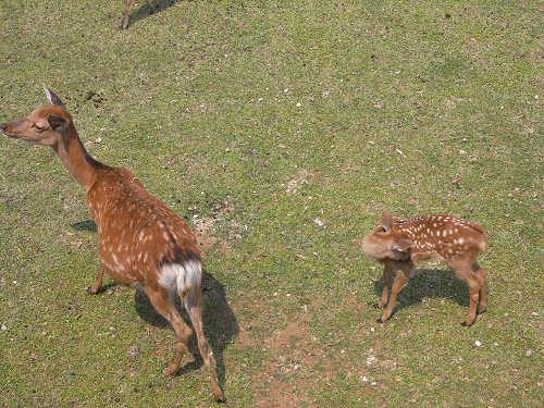 母子鹿の特別公開@鹿苑角きり場-13