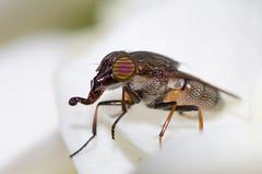 ツマグロキンバエ (Stomorhina obsoleta)