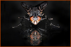 ...face two faces... (zio paperino) Tags: black macro fly nikon tamron 90mm mosca d90 ziopaperino mygearandme