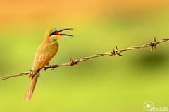 # EXPLORE#75  (Faisal.Alzeer   ) Tags: green bird birds photography fly nikon farm kingdom arabia 300 riyadh faisal 300m saudia        nikkor300mm   of      fnz  d300s       alzeer   300  garror algarror