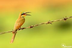 # EXPLORE#75  (Faisal Alzeer) Tags: green bird birds photography fly nikon farm kingdom arabia 300 riyadh faisal 300m saudia        nikkor300mm   of      fnz  d300s       alzeer   300  garror algarror