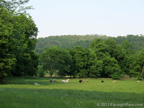 Sheep grazing in the hayfield with their livestock guardian dogs