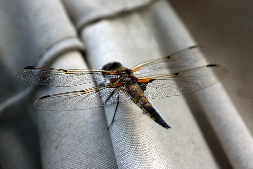 Dragonfly by kayaker1204