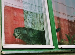 Transylvanian guard dog (deepstoat) Tags: dog reflection film window zeiss 35mm bark romania transylvania contaxt3 cluj kodakportra400nc thelittledoglaughed