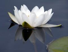 Nymphaea alba (zxc6789) Tags: white plant flower water finland lily alba aquatic oulu ssp nymphaeaceae lumme kukka lumpeet vesikasvi