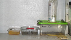 Egg's (Guillermo J. Navarro (XhIvAdEmOn)) Tags: insects terrarium phasmids terrariums peruphasma schultei platymeris sungaya inexpectata xhivademon shivademon peruphama