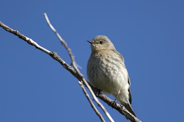 061611_MountainBluebird02