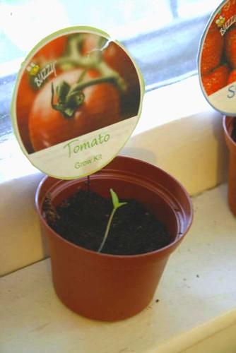 Buzzy Tomato Plant