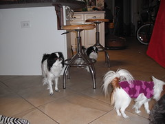 Zoey, Vera, Suki and Lily (Annirose) Tags: zoey shitzu japanesechin davishouse winter2010 christmas2010