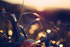 (fullofbliss) Tags: sunset beach grass 50mm blurry nikon bokeh nikkor sunflare whidbeyislandwashington hbw bokehwednesday blartsy ilovethewaythesunreflectsofthebeachgrass