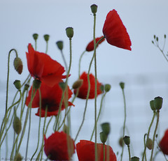 Poppys- For all those who died at the Somme (Jason Prince Photography) Tags: world 1 war great the somme poppys