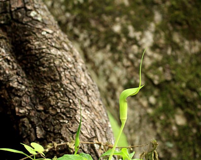 Snake Vine - Plant