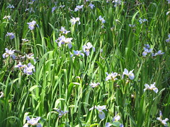 PO - Water Irises on Beaver Lake by vastateparksstaff, on Flickr