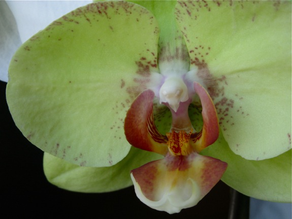 green blooming phalaenopsis orchid 002