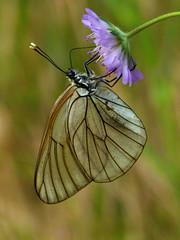 Black-veined White (chaz jackson) Tags: white butterflies bulgaria pieridae aporia crataegi blackveined