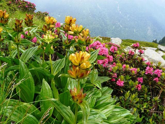Gentiane ponctuée et rhododendrons ferrugineux - Collet Allevard 035