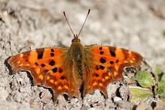 Robert-le-Diable (Polygonia c-album) (fra298) Tags: nature animals butterfly wildlife papillon animaux charente verrières viesauvage faunecharente