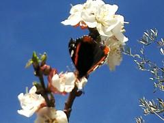 Triffa Milli   (Jamal Elkhalladi) Tags: nature fleurs morocco papillon maroc milli  hassi    abricotier berkane   triffa