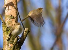 They're back (M van Eden) Tags: birds vogels willowwarbler phylloscopustrochilus fitis kooisteebos kooisteeforest