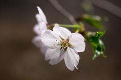 IMGP6929 (Amad) Tags: flower japan spring   sakura kiryu