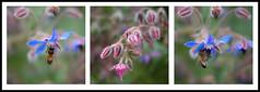 Bourrache Officinale (21gb) Tags: macro fleur bokeh bourracheofficinale lumix20mm bonnetteachromatique