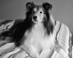 are we going someplace?   23/52 (courtney065) Tags: bw pets dogs animals mono blackwhite shelties dogportraits shetlandsheepdogs nikond600 52weeksfordogs
