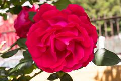 Rosa (Antonio Ciriello PhotoEos) Tags: flowers primavera rose canon garden spring colours rosa 1855mm 1855 fiori colori giardino 600d eos600d canoneos600d rebelt3i