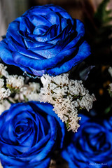 3 alegres rosas azules (Edwin.1997) Tags: blue roses de y para negro una alemania todo tu rosas ramo fondo regalo castillo carta edwin nada malo amazonas azules amada salazar verdecora mesnada acompaalo