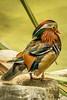 IMG_1863 (erin.richardson7) Tags: zoo duck mn mnzoo tropicstrail