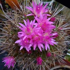 Neoporteria wagenknectii (nolehace) Tags: sanfrancisco spring 514 neoporteria nolehace fz35 wagenknectii